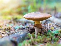 Смазчицы гриба Стоковое Изображение