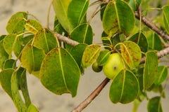 Смертельный плодоовощ дерева и яблока Manchineel Стоковая Фотография RF