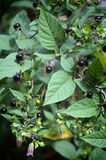 Смертельный Nightshade (белладонна Atropa), ягоды и цветки Стоковое Изображение