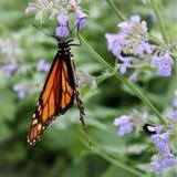 Смертная казнь через повешение бабочки монарха от цветков Salvia Стоковые Фото