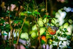 Смертная казнь через повешение бабочки ферзя вверх ногами и подавая на малой белизне Стоковая Фотография