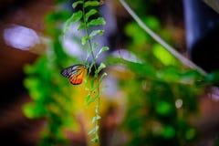 Смертная казнь через повешение бабочки ферзя вверх ногами и подавая на малой белизне Стоковое Изображение