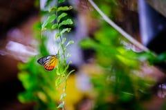 Смертная казнь через повешение бабочки ферзя вверх ногами и подавая на малой белизне Стоковое Изображение RF