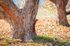 Смертная казнь через повешение белки на дереве в парке осени Стоковое Изображение RF