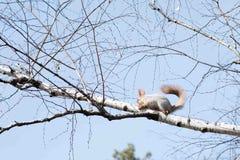 Смертная казнь через повешение белки на дереве весной Стоковое фото RF