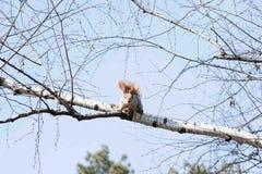Смертная казнь через повешение белки на дереве весной Стоковое Фото