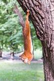 Смертная казнь через повешение белки на дереве Стоковая Фотография