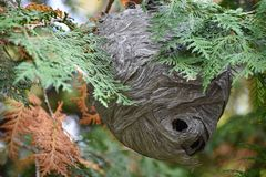 Смертная казнь через повешение гнезда оси на ветви дерева стоковое фото rf
