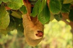 Смертная казнь через повешение лени от дерева в Коста-Рика Стоковая Фотография RF