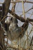 Смертная казнь через повешение лени от деревьев Стоковое Изображение RF