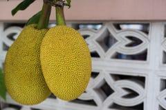 Смертная казнь через повешение джекфрута на ветви Стоковые Изображения