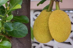 Смертная казнь через повешение джекфрута на ветви Стоковые Фото