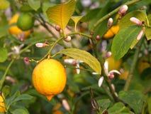 Смертная казнь через повешение лимона от дерева в саде Стоковая Фотография
