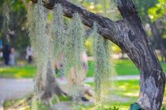 Смертная казнь через повешение испанского мха на дереве Стоковые Изображения