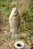 Смертная казнь через повешение карпа Crucian на крюке уловила рыболовом перед чонсервной банкой с приманкой и травой Стоковые Изображения RF