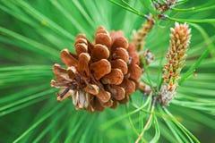 Смертная казнь через повешение конуса сосны Брайна от ветви дерева Стоковая Фотография RF