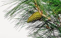 Смертная казнь через повешение конуса сосны на ветви Стоковое Изображение RF