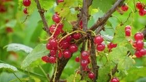 Смертная казнь через повешение красной смородины на кусте в саде Пуки сочной, зрелой, съестной ягоды вися на Буше Красная смороди акции видеоматериалы
