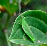 Смертная казнь через повешение кузнечика на зеленых лист; селективный фокус на глазах Стоковые Фото