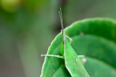 Смертная казнь через повешение кузнечика на зеленых лист; селективный фокус на глазах Стоковые Изображения