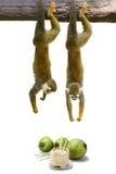 Смертная казнь через повешение обезьяны белки над кокосом. Стоковое Изображение