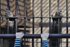Смертная казнь через повешение обезьяны и ребенка Стоковое Фото