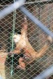 Смертная казнь через повешение обезьяны от бара зоопарка Стоковая Фотография