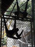 Смертная казнь через повешение обезьяны паука стоковые изображения