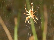 Смертная казнь через повешение паука насекомого живой природы на паутине Стоковое фото RF
