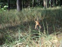 Смертная казнь через повешение паука насекомого на паутине на заднем плане леса Стоковое Фото