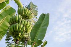 Смертная казнь через повешение пука банана на банановом дереве Стоковая Фотография RF