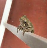 Смертная казнь через повешение древесной лягушки на загородке белого металла Стоковая Фотография