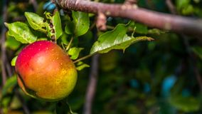 Смертная казнь через повешение Яблока на дереве Стоковое Изображение