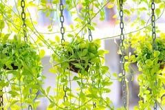 Смертная казнь через повешение Asclepiadaceae на стене Стоковое Изображение RF