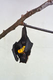 Смертная казнь через повешение Fox летания Фиджи, на ветви дерева ест манго Стоковые Фотографии RF