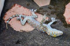 Смерть гекконовых на поле цемента стоковые изображения