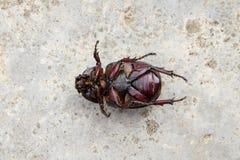 Смерть жука кладя вниз на конкретное, gazella Onthophagus вид жука скарабея, умерли жука, который стоковые фото