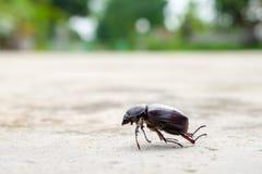 Смерть жука кладя вниз на конкретное, gazella Onthophagus вид жука скарабея, умерли жука, который стоковое изображение rf