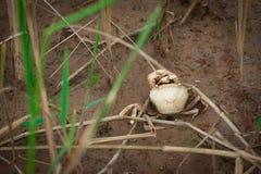 Смерть краба в поле на земле стоковые фотографии rf