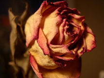смерть красотки Стоковое фото RF