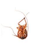 смерть таракана Стоковая Фотография RF