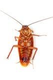 смерть таракана Стоковые Изображения RF