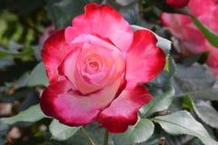 Сметанообразный красный и белый Parfait вишни поднял 01 Стоковые Фотографии RF