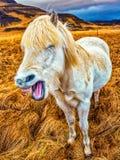 Смех лошади стоковая фотография rf