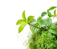Смешайте завод peperomia арбуза, pereskiifolia Peperomia и h Стоковое фото RF