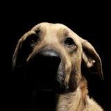 Смешанная собака коричневого цвета породы с портретом волшебных глаз в черном backgrou Стоковое фото RF