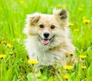 Смешанная собака породы в поле цветка желтых одуванчиков Стоковая Фотография
