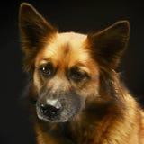 Смешанная собака породы в черной студии предпосылки Стоковые Изображения