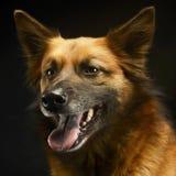 Смешанная собака породы в черной студии предпосылки Стоковые Фотографии RF