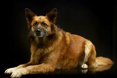 Смешанная собака породы в черной студии предпосылки Стоковое Изображение